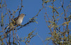 Northern Mockingbird, Saguraro National Park, Tucson, Arizona, March 22 2014, Canon 6D, 1/1250 F7.1 ISO200