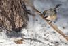 Boreal Chickadee, March 8 2013, Algonquin Park