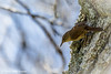 House wren, Prince Edward Point, May 11 2012, #4623, Canon T3i-1/500-F5.6-ISO200