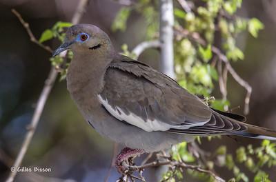 Doves-Pigeons