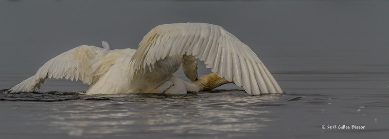 Mating Mute Swans, July 9 2013, Bay of Quinte, #2634, Canon T3i-100-400mm-1/1600-f7.1-ISO 200-LR5