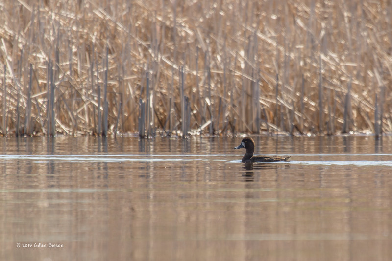Common Goldeneye,1st winter,male, Bay of Quinte,May 2013