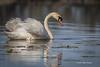 Swan, Bay of Quinte, May 7 2013, #5698