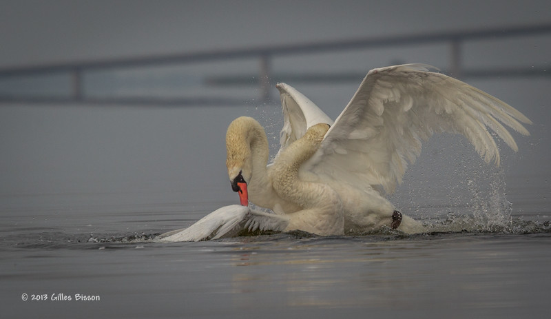 Mating Mute Swans, July 9 2013, Bay of Quinte, #2585, Canon T3i-100-400mm-1/1600-f7.1-ISO 200-LR5
