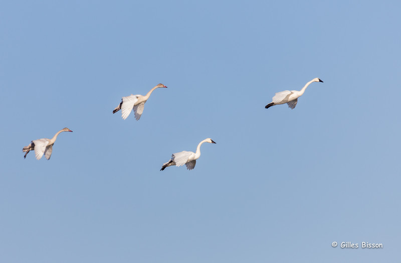 Tundra Swans coming in for a Landing, Presqu'ile Provincial Park, Nov 11 2014, Canon 6D,1/1250,F6.3,ISO400