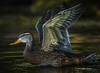 Duck taking flight, Bay of Quinte, Aug 24 2013, #5682, Canon T3i-100-400mm-1/800-F7.1-ISO400-LR5