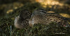 Resting Ducks, Bay of Quinte, Aug 24 2013,#5720, Canon T3i-100-400mm-1/800-f8.0-ISO1600-LR5
