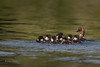 Common Goldeneye Duck with Ducklings, July 08 2015, Remi Lake, Rene Brunelle Provincial Park, Moonbeam Ontario, Canon 7D Mark II, 100-400mm, 1/1000, F8.0, ISO 320