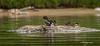 Common Goldeneye, Remi Lake, Moonbeam, June 28 2013, #0973, Canon T3i, 100-400mm,1/1000-f5.6-ISO400, LR5