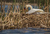 Nesting Swan, East Lake, May 07 2013, #8415