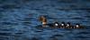 Common Goldeneye Family, Remi Lake, Moonbeam, July 1 2013, #2140, Canon T3i, 100-400mm,1/1000-f7.1-ISO 200, LR5