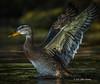 Duck taking flight, Bay of Quinte, Aug 24 2013, #5681, Canon T3i-100-400mm-1/800-F7.1-ISO400-LR5