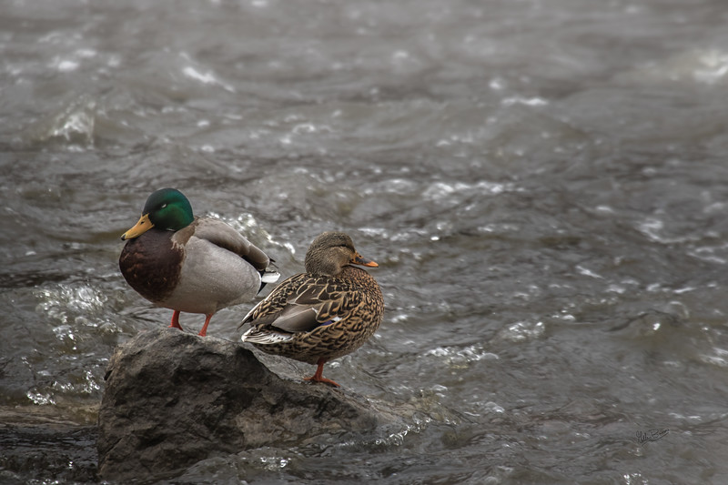 Mallard Ducks,Napanee River, January 20, 2017, Canon 7D Mark II, 400mm, 1/320, F7.1, ISO 800