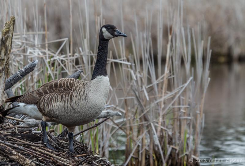 Canada Goose, April 26 2012, Frink Centre