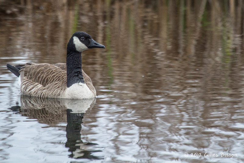 Canada Goose, May 01 2012, Frink Centre