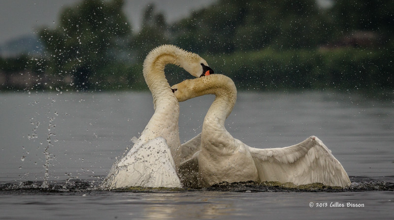 Mating Mute Swans, July 9 2013, Bay of Quinte, #2664, Canon T3i-100-400mm-1/1600-f7.1-ISO 200-LR5