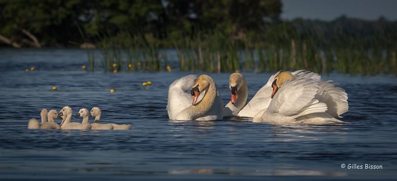 Swan family, May 31 2016, Blessington Creek, Bay of Quinte, Canon 7D mark II, 250mm, 1/1250, F8.0, ISO 125
