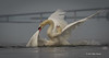 Mating Mute Swans, July 9 2013, Bay of Quinte, #2583, Canon T3i-100-400mm-1/1600-f7.1-ISO 200