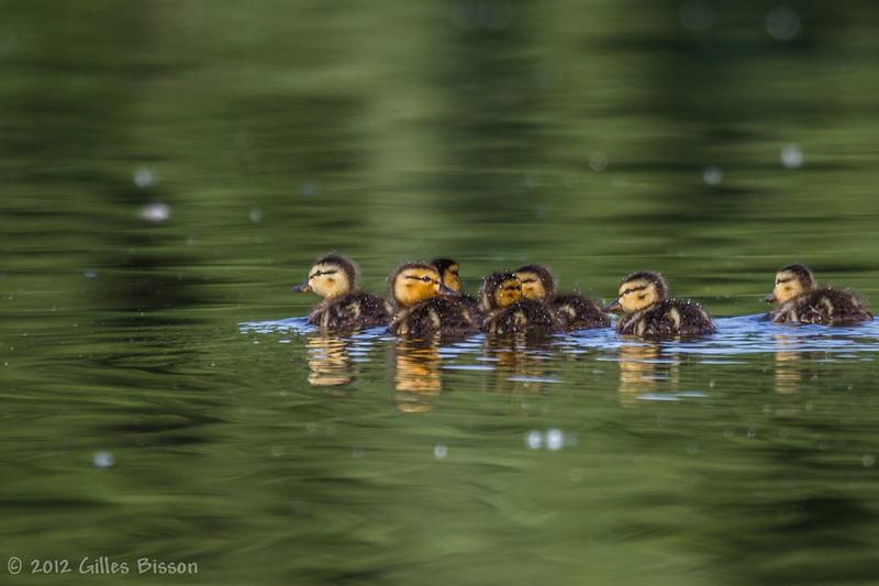Ducklings, July 01 2012, Bay of Quinte