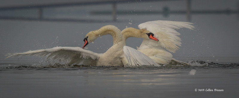 Mating Mute Swans, July 9 2013, Bay of Quinte, #2579, Canon T3i-100-400mm-1/1600-f7.1-ISO 100