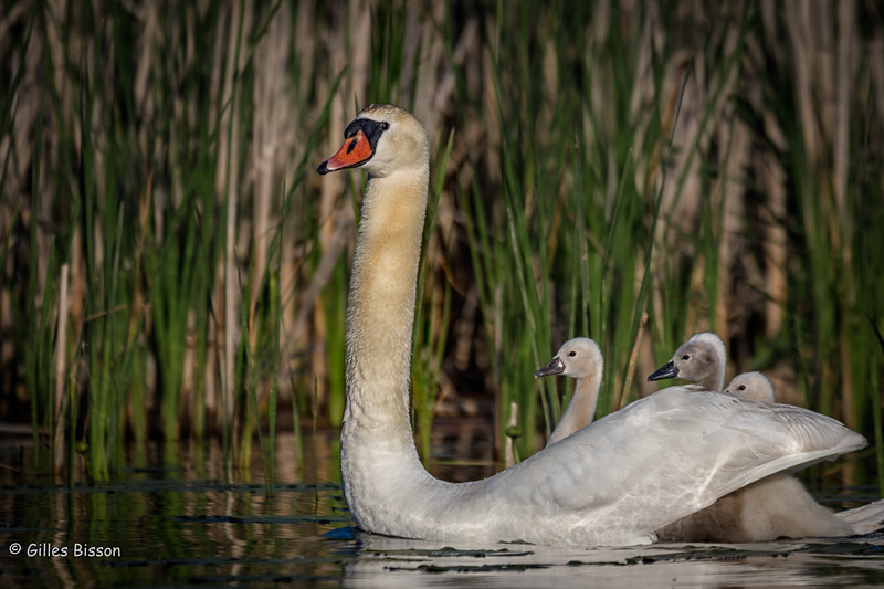 Mute Swan, with cygnets,Blessington,Creek, Bay of Quinte,May 31,2016, Canon 7D MarkII, 1/1250,,F7.1,ISO 125