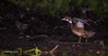 Young Wood Duck showing his new wings, Sept 11 2013, #6884,Canon 6D-100-400mm-1/800-F5.6-ISO500-LR5