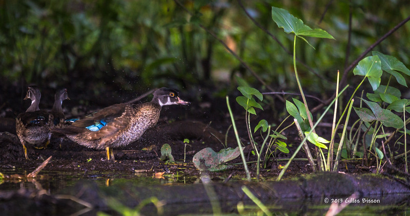 Young Wood Duck shaking a bit of water off, Sept 11 2013, #6873,Canon 6D-100-400mm-1/800-F5.6-ISO500-LR5