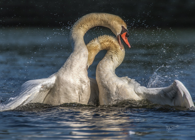 Swans, Bay of Quinte, July 08, 2018, Canon 7D Mark II, 100-400mm, 1/1250, F8.0, ISO 160