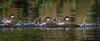 Common Goldeneye Ducklings, July 08 2015, Remi Lake, Rene Brunelle Provincial Park, Moonbeam Ontario, Canon 7D Mark II, 100-400mm, 1/1000, F7.1, ISO 400