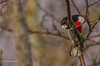 Rose-breasted Grosbeak,May 10 2014,Prince Edward Point, Canon T3i,100-400mm,1/1250,F5.6,ISO400