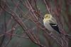 American goldfinch, Algonquin Park, March 1, 2017, Canon 7D Mrk II, 400mm, 1/250, F7.1, fISO 800