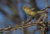 American Goldfinch, Tucson, Arizona, Canon 6D, 1/1250 F7.1 ISO200