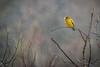 Evening Grosbeak, Algonquin Park, March 1, 2017, Canon 7D, 400mm, 1/250, F7.1, ISO 800