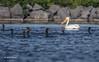 American White Pelican, Bay of Quinte, June 22 2015, Canon 7D MarkII, 1/1250, F7.1, ISO 200