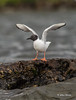 Bonaparte's Gull, Remi Lake, July 30 2014, Canon T3i,1/1250,F6.3, ISO400