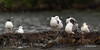 Bonaparte's Gulls, Remi Lake, July 30 2014, Canon T3i,1/1250,F6.3, ISO400