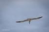Caspian Tern, Bay of Quinte, May 7 2013,#6034