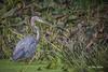 Blue Heron, Moira river, Sept 05 2014, Canon T3i, 1/1250,F7.1,ISO400