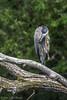 Waving Great Blue Heron, July 19 2012, Bay of Quinte