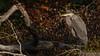 Blue Heron, Moira River, September 23, 2020, Sony AR7IV, 100-400mm, 1/500, F8.0, ISO 100