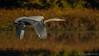 Great Blue Heron in flight on  Moira River, October 10 2011