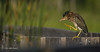 Green Heron, Frink Centre, July 15 2013, #3388, Canon T3i-1/1250-F7.1,ISO 200, LR5