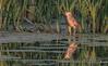 Black-crowned Night-Heron, July 15 2015, Brighton Wetland, Canon 7D Mark II, 100-400mm, 1/320,F7.1, ISO 500