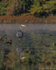 Great Blue Heron in Moira River, October 10 2011
