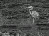 Blue Heron, Moira River, June 20 2014, Canon T3i,1/1250,F8.0,ISO200