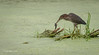 Green Heron Spear fishing, Bay of Quinte, Aug 22 2013, #5121, Canon t3i-100-400mm-1/640-F5.6-ISO200-LR5