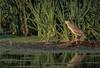 Black-crowned Night-Heron, July 15 2015, Brighton Wetland, Canon 7D Mark II, 100-400mm, 1/1250,F7.1, ISO 800