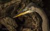 Blue Heron, Moira River, Sept 09 2013, #6797, Canon T3i-400mm-1/1000-F7.1-ISO800-LR5
