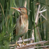 Least Bittern, Bay of Quinte, June 24, 2019, Canon 7D Mark II, 100-400mm,(375mm) 1/1250, F8.0, ISO 640