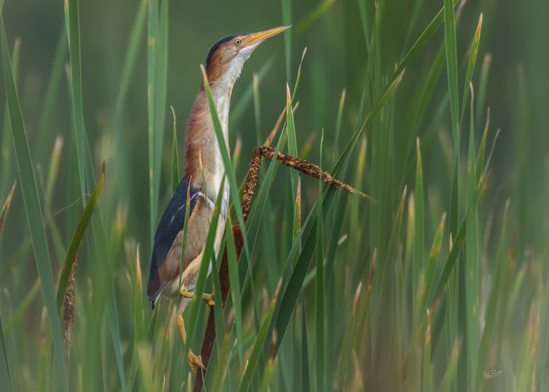 Least Bittern, Frink Centre Conservation Area, June 14, 2017, Canon 7D Mark II, !/1250, F7.1, ISO 800